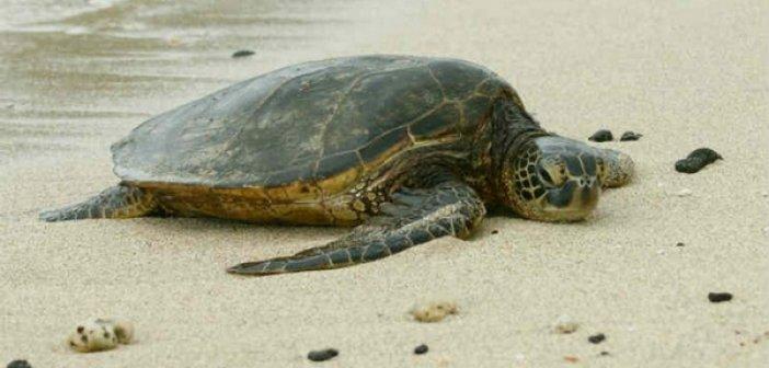 Αμφιλοχία: Τραυματισμένη χελώνα στην παραλία Αράπη στο Ανοιξιάτικο