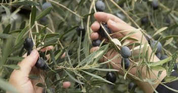 Ελληνική Λύση: Ερώτηση στη Βουλή για τη δραματική ακαρπία στην ελιά στο Μεσολόγγι