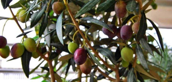 Στην Αιτωλοακαρνανία «χάθηκε» τουλάχιστον η μισή παραγωγή – Ρεκόρ ακαρπίας στην ελιά