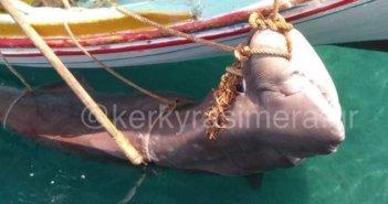 Απίστευτη ψαριά στην Κέρκυρα – Έπιασαν καρχαρία 200 κιλών! (φωτο)