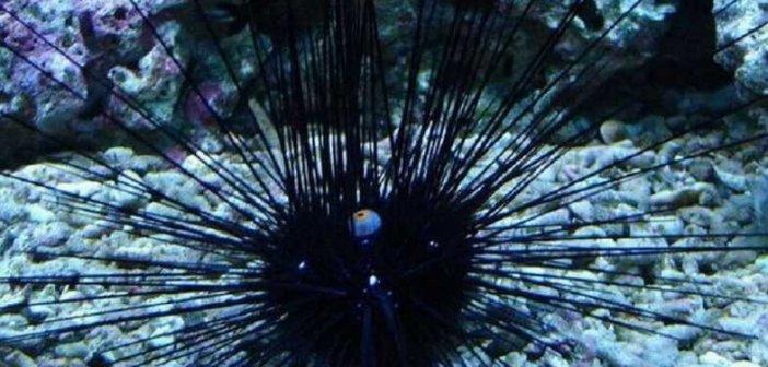 Αυτός είναι ο δηλητηριώδης αχινός που έφτασε από τον Ειρηνικό και αυξάνεται στις ελληνικές θάλασσες