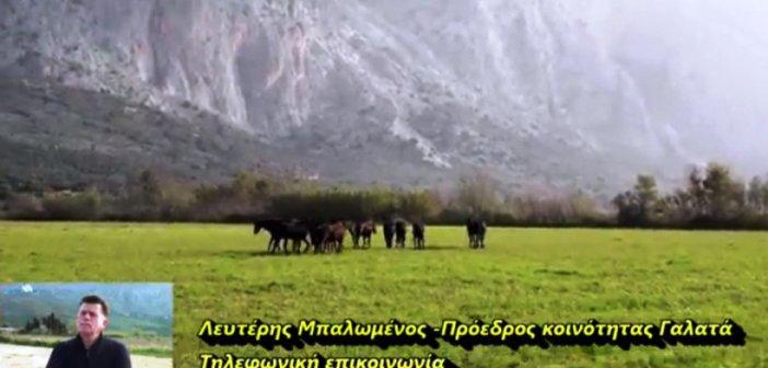 """Ναυπακτία: Σοβαρό ατύχημα με τα """"άγρια άλογα"""" του Γαλατά – Ποδοπάτησαν νεαρό (VIDEO)"""