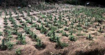 Αιγιαλεία: 910 δενδρύλλια σε χασισοφυτεία – Πάνω από 1,3 εκατ. ευρώ το δυνητικό κέρδος