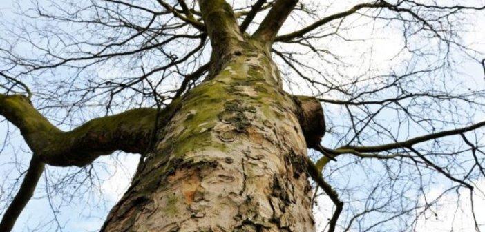 Μεταχρωματικό έλκος πλατάνου: Πώς εξαπλώθηκε στην Αιτωλοακαρνανία