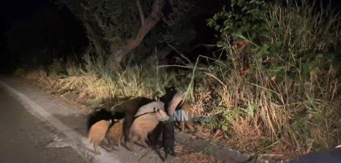 Ναυπακτία: Αγριογούρουνα κάνουν βόλτα στο δρόμο δίπλα σε σπίτια