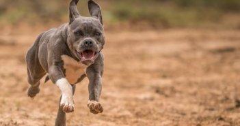 Δοκίμι Αγρινίου: Σε αδέσποτο σκύλο επιτέθηκε πίτμπουλ που διέφυγε από σπίτι